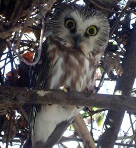 Saw Whet Owl as seen at the John Heinz Wildlife Refuge at Tinnicum Marsh